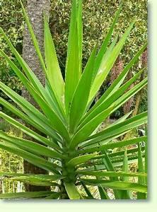 Yucca Palme Winterhart : yucca palme pflege pflanzenfreunde ~ A.2002-acura-tl-radio.info Haus und Dekorationen