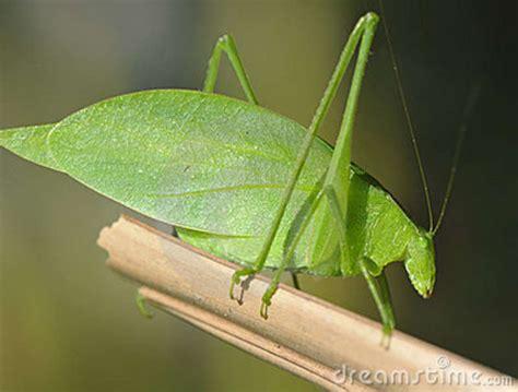 general knowledge long horned grasshopper katydids