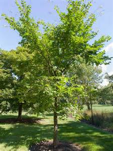 Valley Forge American Elm Tree