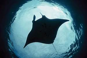 Manta Rays Are First Fish To Recognise Themselves In A