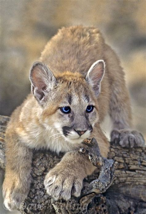 pretty blue eyed cougar cub   notice   big