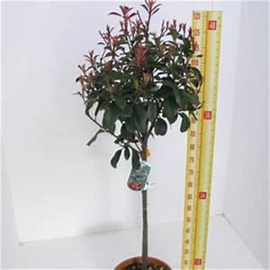 Photinia Fraseri Robusta Compacta : buy photinia topiary plants online cheap topiary plants for sale topiary plants essex ~ Buech-reservation.com Haus und Dekorationen