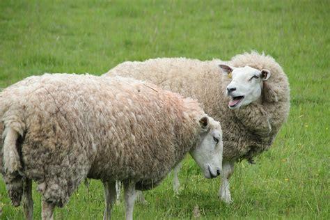 sheep cattle wool  photo  pixabay