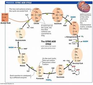 Reflection 23  Summary Of The Krebs Cycle  U0026 Electron