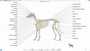 Skeletal System Dog Bone Anatomy