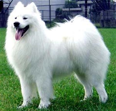 samoyed dogs and list on