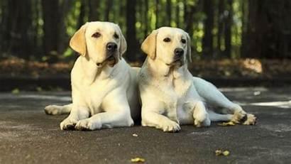 Labrador Retriever Dog Breeds Dogs Train Easy