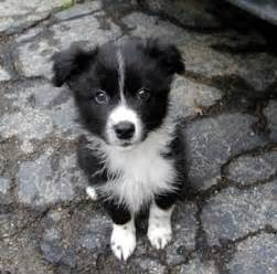 Border Collie Breed