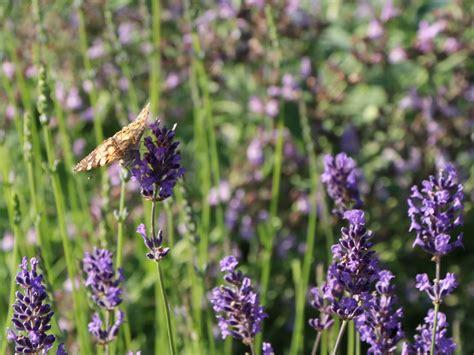 echter lavendel lavandula angustifolia baumschule