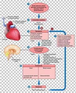 Negative Feedback Anatomy Positive Feedback Human Body Png