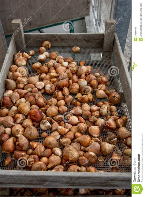 many flower bulbs for sale stock photography image 33886682