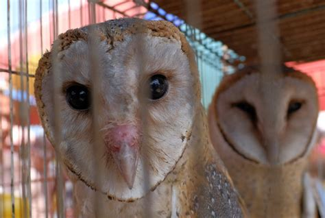 Barn Owl Malaysia by Gives Owls Their Back New