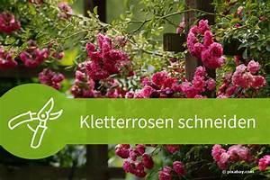 Rosen Schneiden Zeitpunkt : kletterrosen schneiden 4 schritte f r 4 schnittarten ~ Frokenaadalensverden.com Haus und Dekorationen