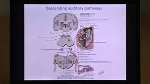 Neural Basis Of Central Auditory System Function And