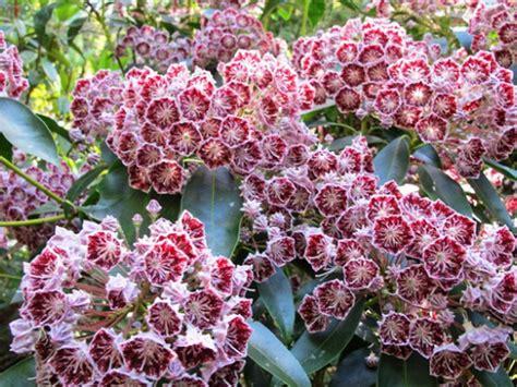 Summer Flowering Shrubs, Summer Flowering Shrubs Australia