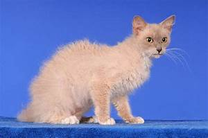 Cats La : laperm cat appearance characteristics facts and hd pictures ~ Orissabook.com Haus und Dekorationen