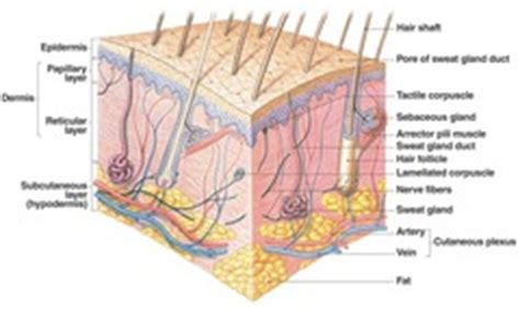 integumentary system chapter  flashcards quizlet