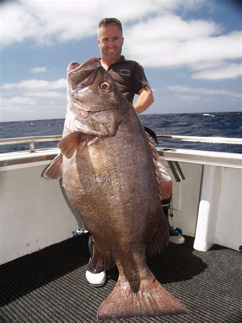 hapuka bass caught fish australia fishing fishes zealand biggest ever record kg huge groper bay largest sea giant monster three