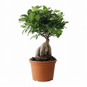 Bonsai Ficus Ginseng : ficus microcarpa ginseng ficus bonsai plantes int rieures ~ Buech-reservation.com Haus und Dekorationen