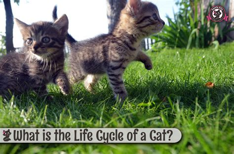 lifespan of a cat what is the life cycle of a cat sweetie kitty 2018