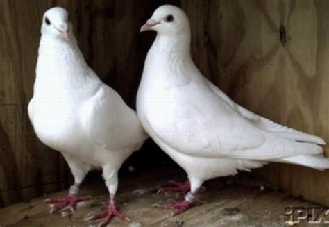 White Doves For Sale, Homing Pigeons, Wedding Release Dove