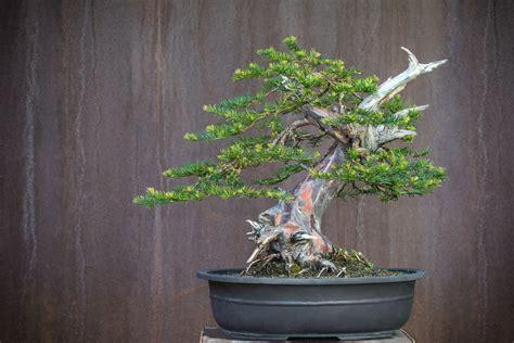 Flechten An B Umen 4666 taxus bonsai foto bild pflanzen pilze flechten