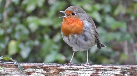 robin bird chirping and singing song of robin red breast