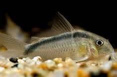 freshwater bottom feeders freshwater fish tank maintenance bottom feeders 2017