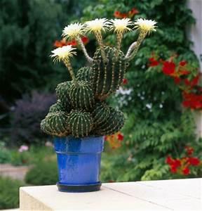 Comment Entretenir Un Cactus : cactus et plantes grasses entretien rempotage gamm vert ~ Nature-et-papiers.com Idées de Décoration