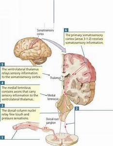Somatosensory Pathways to the Brain