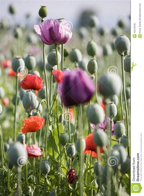 poppy bloom time poppy bloom royalty free stock photo image 10413445
