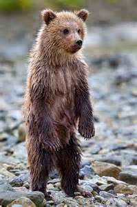 Baby Bear Standing