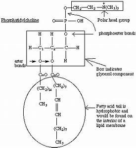 phosphatidylcholine (PC) or Lecithin, found in pulmonary ...  Phosphatidylcholine