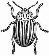 Insect Line Clipart Potato Bug Drawing Bugs Beetle Etc Getdrawings Engraving 20art 20clip sketch template