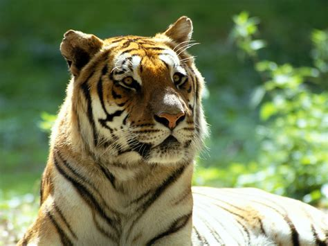 Moving Animal Wallpapers - tiger moving king of the foresty tiger wallaper tiger
