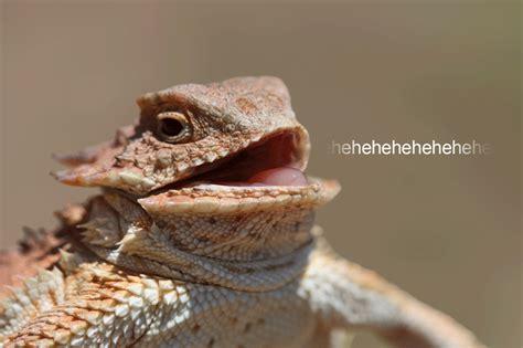 Lizard Meme - hehehehe archives reaction gifs