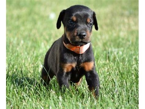 Doberman Puppies For Adoption To New Homes Animals Minneapolis Minnesota Announcement