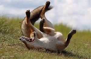 Mäuse Fangen Ohne Falle : best 25 happy fox ideas on pinterest red fox pictures fox and foxes ~ Markanthonyermac.com Haus und Dekorationen