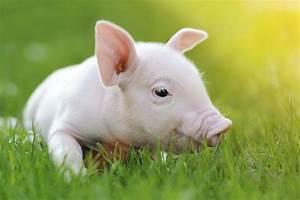 R  Pigs