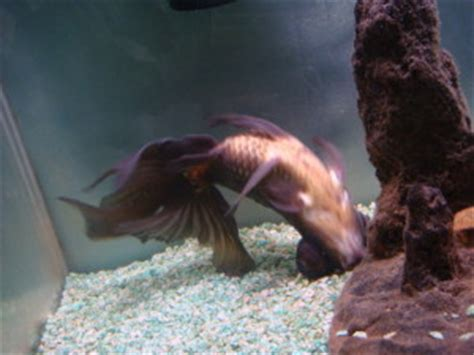 swim bladder disease common tropical fish diseases tropical fish site