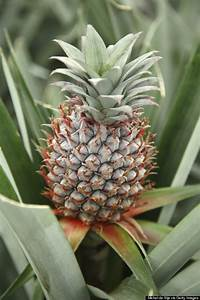 17 Mind-Boggling Facts About Pineapples   HuffPost
