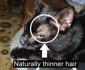cat losing hair cats balding around family feud
