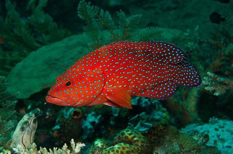 grouper fish miniatus miniata predatory cephalopholis