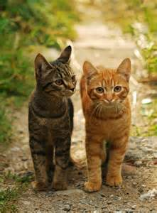 what is a tabby cat tabby cat facts and legends about the tabby cat