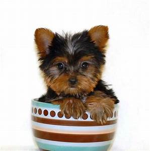 Teacup yorkies - Information, Care and facts   Yorkiemag