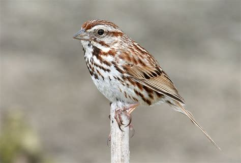 bill hubick photography song sparrow melospiza melodia