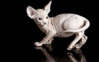 Sphynx Cat Hairless Cats Kitten Pets Animals