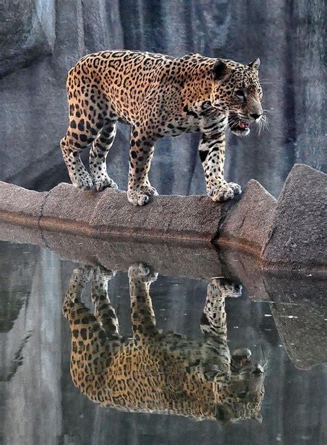 Jaguar Reflection