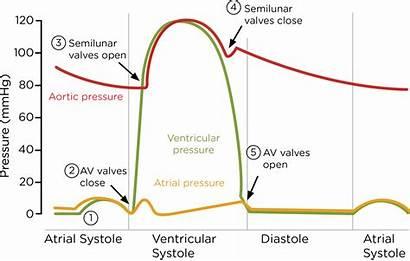 Transport Cardiac Animals Cycle Biology Ocr Level
