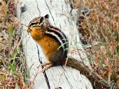 Animal Hd Wallpapers 1600x1200 - animals chipmunks 1600x1200 wallpaper high quality